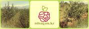 Саженцы яблонь 1-2 летки,  Казахстан.