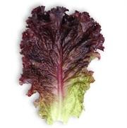 Семена Китано. Предлагаем купить семена салата КS 101 F1