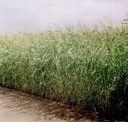 семена суданки соответствует Гост19451-93